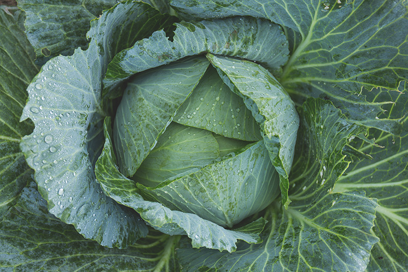 cabbage and gout