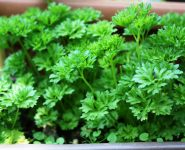 Parsley And Gout (Start Adding This Plant To Your Diet Immediately)