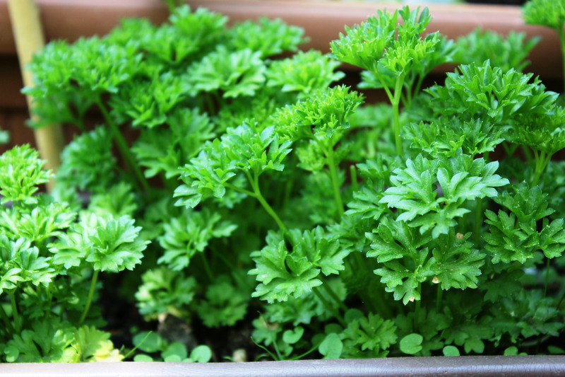 parsley and gout