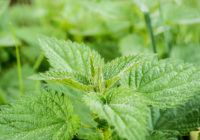stinging nettles and gout