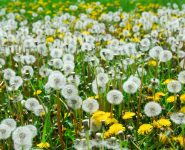 Gout And Dandelion - Does It Help?