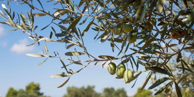 oil leaf